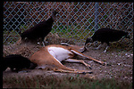 3-1-01.Turkey vultures eat a roadkill(deer) in the busy highways of the Florida everglades.
