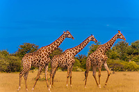 Herd of giraffes, Nxai Pan National Park, Botswana.