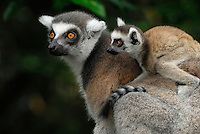 Ring-tailed Lemur (Lemur catta), female with its baby riding on its back, Madagascar