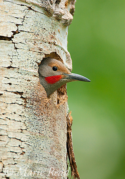 Northern Flicker (Colaptes auratus), male, red-shafted race, looking out of its nest hole in Quaking Aspen (Populus tremuloides) trunk, Mono Lake Basin, California, USA
