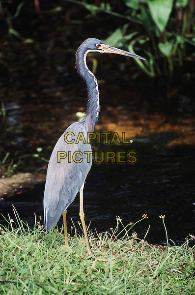 Blue heron in the Everglades National Park, Florida, United States of America