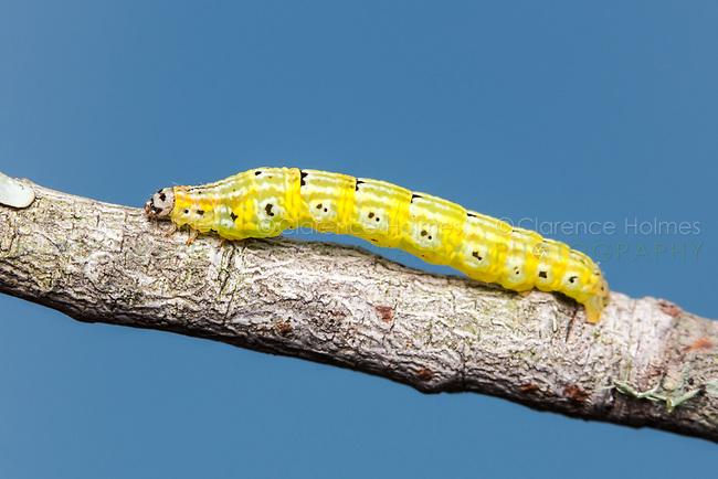 Geometrid Moth (Episemasia cervinaria) caterpillar (larva)