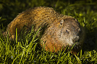 "Woodchuck (Marmota monax). Point Pelee National Park, Ontario, Canada. Lake Erie. Spring. aka "" Groundhog""."