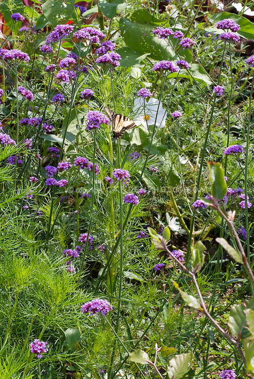 Verbena bonariensis with Swallowtail butterfly insect, cosmos