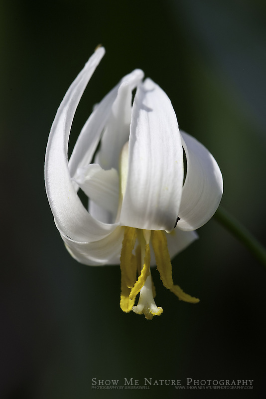Dog-tooth Violet wildflowers