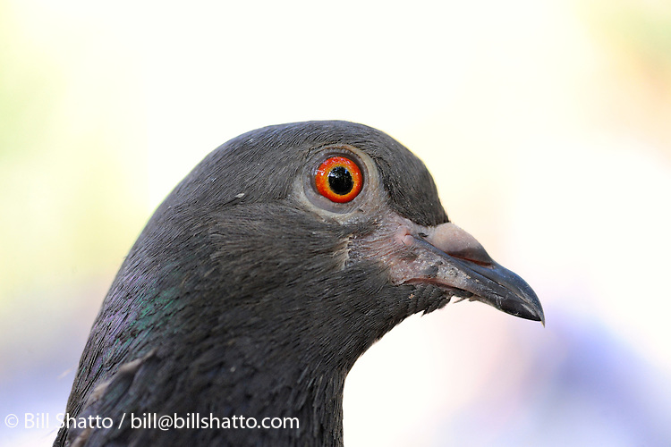 A close-up of a pigeon's head.
