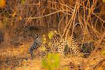 Botswana, Okavango Delta, Moremi Game Reserve, female leopard walking in forest