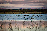 Sandhill Cranes settling in for the night at the Flight Deck Pond at Bosque del Apache National Wildlife Refuge in south-central New Mexico