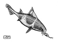 Angular roughshark, Oxynotus centrina, eating small-spotted catshark, Scyliorhinus canicula, egg, pen and ink illustration.
