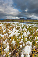 Alaska cotton grass and tundra pond, Alaska Range mountains in the distance, southside of the range, Interior, Alaska.