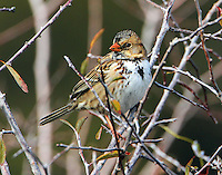 First winter Harris's sparrow