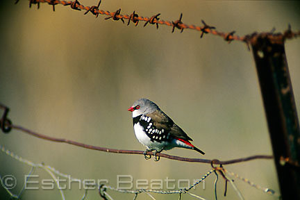 Diamond Firetail (Stagonopleura guttata) perched on barbed wire fence in a paddock. Gundagai area, New South Wales