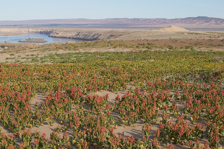 Hanford Reach National Monument, Wahluke Slope, Columbia River, Sand Dock, Rumex hymenosepalus, grassland, Columbia Basin, eastern Washington, Washington State, Pacific Northwest, USA, North America,