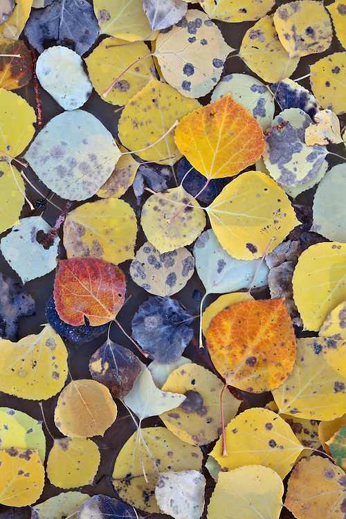Quaking aspen (Populus tremuloides) leaves in puddle in Saddle Mountain Wilderness Area, Kaibab National Forest, Arizona, USA