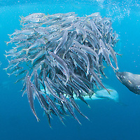 Images_of_the_Seasonal_Sardine_Run_South_Africa captured_May_2011. Common dolphins_sardines_and_ragged_tooth_sharks_seals_and_cape_ganets