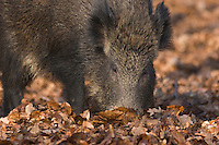 Germany, DEU, Arnsberg, 2005-Feb-07: A wild boar (sus scrofa) exploring the ground for food in the Wildwald Vosswinkel preserve.