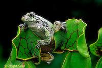 FR15-041z  Pitcher Plant - gray tree frog sitting on pitcher plant