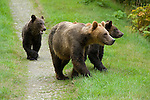 Female grizzly bear with  two cubs walking along path to go to the creek for salmon