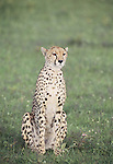 Cheetah mom  (Acinonyx jubatus) .