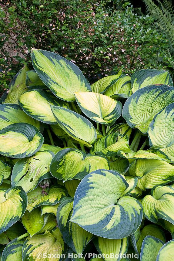 Shade garden variegated foliage perennial Hosta 'Bright Lights'