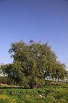 Israel, Shephelah, Jujube tree in Ben Shemen