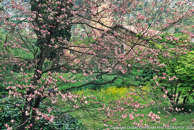 A dogwood in full spring bloom creates a haze of pink color over the scene of old buildings and greenery at the Ninfa gardens in central Italy