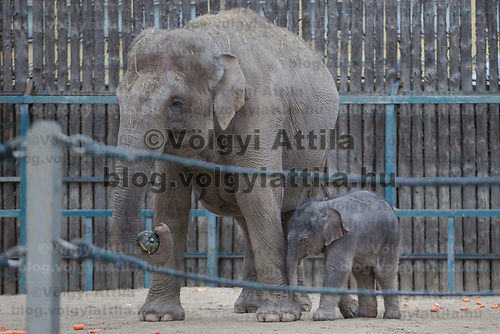 Three days old captive born baby elephant (R) is introduced to members of the media the first time after its mother Angele (L) gave birth on 8th November in the City Zoo in Budapest, Hungary on Nov. 10, 2017. ATTILA VOLGYI