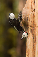 598000012 wild male and female white-headed woodpeckers picoides albolavartus at nest cavity washington