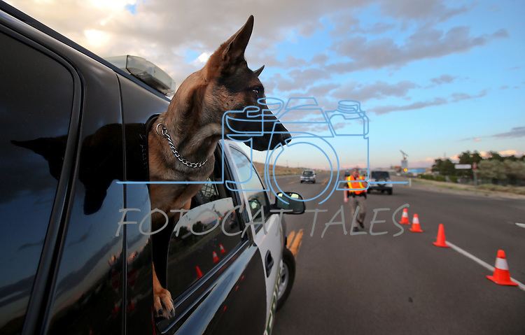 Carson City Sheriff's K-9 Tarzan keeps an eye on the action at a DUI checkpoint in east Carson City, Nev., on Friday, Aug. 8, 2013. <br /> Photo by Cathleen Allison