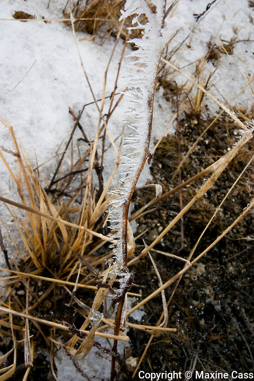 Winter icicles frozen on small stem, Biscuit Basin, Yellowstone National Park, Wyoming, United States of America