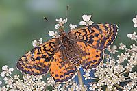 Roter Scheckenfalter, Feuriger Scheckenfalter, Weibchen, Blütenbesuch, Nektarsuche, Melitaea didyma, spotted fritillary