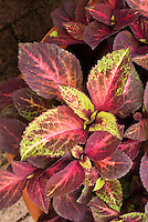 (Solenostemon) Coleus 'Versa Rose to Lime'