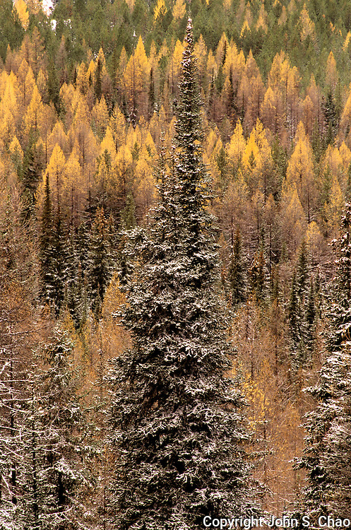 Winter arrives among the larch trees of Wenatchee National Forest. A frosted conifer stands before a colorful backdrop of larch trees in their Fall colors. North Cascades Mountain Range, Washington State.....Photographed in 35mm format on Velvia 50 film.