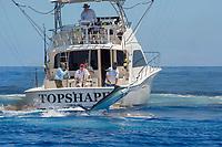 Pacific blue marlin, Makaira nigricans or Makaira mazara, jumping while hooked up during the Hawaii International Billfish Tournament, Kailua Kona, Big Island, Hawaii, USA, Pacific Ocean