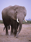 African elephant bull at Amboseli National Park