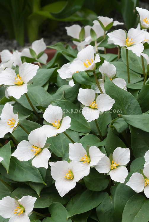 Trillium rivale in white spring bloom