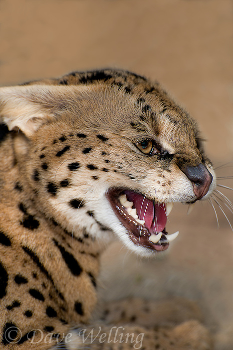 678050003 portrait of a serval felis serval wildlife rescue