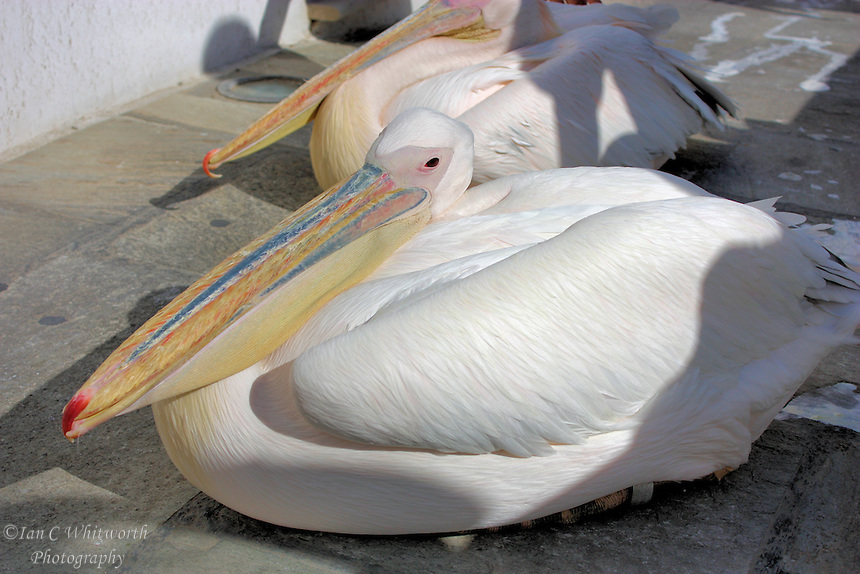 Island mascot, Petros the pelican in Mykonos in Greece