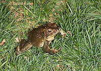 0304-0922  American Toad on Grass in Backyard, © David Kuhn/Dwight Kuhn Photography, Anaxyrus americanus, formerly Bufo americanus