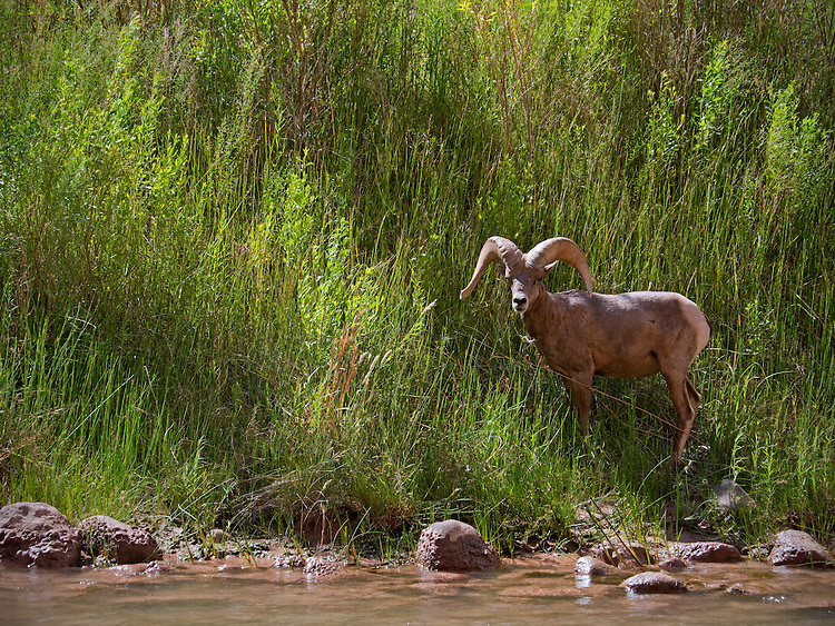 Desert bighorn sheep (Ovis canadensis nelsoni) along the Colorado River shore in the Grand Canyon, Grand Canyon National Park, Arizona, USA