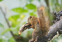Red-tailed Squirrel, Sciurus granatensis, takes a banana from a bird feeder at San Jorge Eco-Lodge, Tandayapa Valley, Ecuador