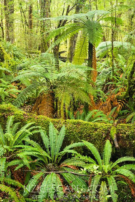 Rainforest near Te Anau with Ponga tree ferns, Fiordland National Park, Southland, UNESCO World Heritage Area, New Zealand, NZ