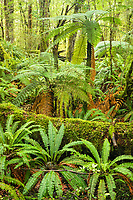Rainforest near Te Anau with Ponga tree ferns, Fiordland National Park, Southland, UNESCO World Heritage Area, New Zealand, NZ
