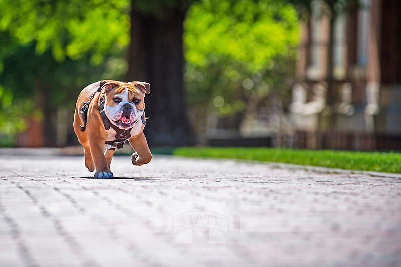 Bully XXI, Jak, walking on the brick sidewalk of the Drill Field. (photo by Beth Wynn / © Mississippi State University)