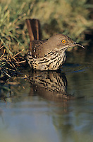 Long-billed Thrasher, Toxostoma longirostre,adult bathing, Lake Corpus Christi, Texas, USA, May 2003