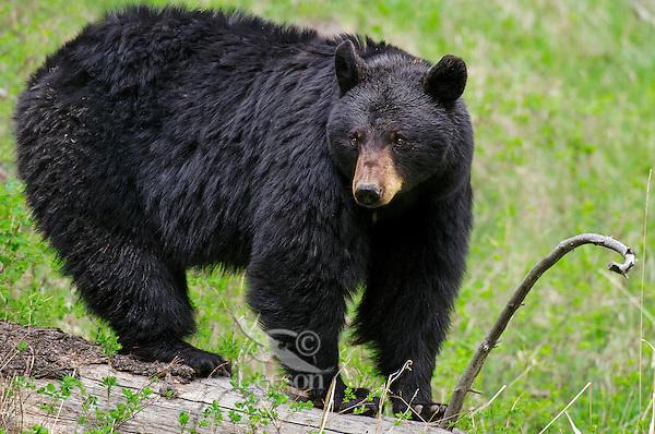 Wild Black Bear (Ursus americanus).  Western U.S., Spring.