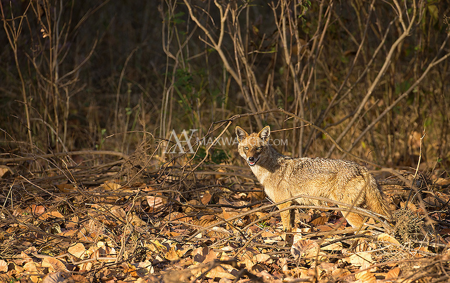 A golden jackal patrols Kanha National Park.