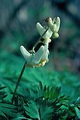 Dutchman's Britches or Breeches, - Dicentra cucullaria in the Upper Peninsula of Michigan.