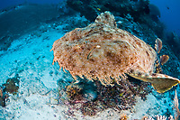 A Tasselled wobbegong, Eucrossorhinus dasypogon, glides over a sand and rubble bottom searching for an appropriate place to camouflage itself and wait for prey to swim by. Raja Ampat, Papua, Indonesia, Pacific Ocean