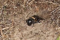 Feldgrille, Männchen vor selbstgegrabenem Erdloch, Feld-Grille, Grille, Gryllus campestris, field cricket, Grillen, Gryllidae